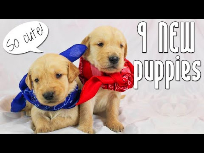 9 Golden Retriever Puppies Nurse at the Same Time